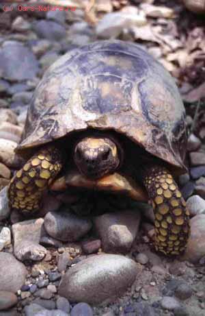 Черепахи сухопутные (Testudinidae)
