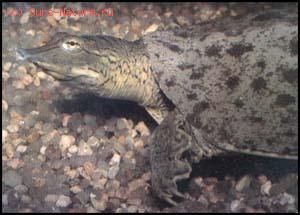 Черепахи трёхкоготные (Trionychidae)