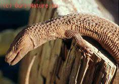 Вараны безухие (Lanthanotidae)