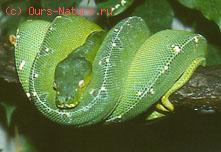 Змеи ложноногие (Boidae)
