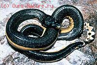 Змеи морские (Hydrophidae)
