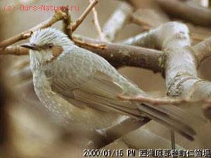 Бульбулевые (Pycnonotidae)