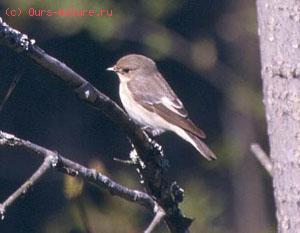 Мухоловковые (Muscicapidae)