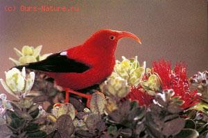 Цветочницы гавайские (Drepanididae)