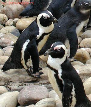 Пингвиновые (Spheniscidae)