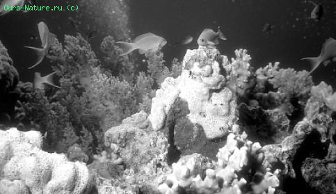 Мадрепоровые кораллы – главные