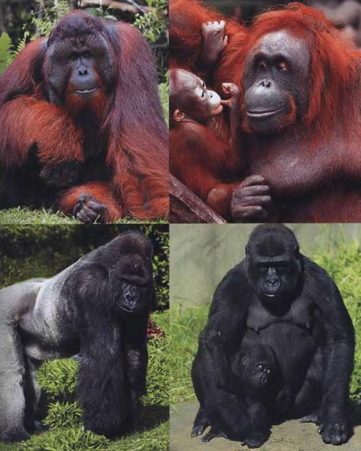 Gorilla and orangutan