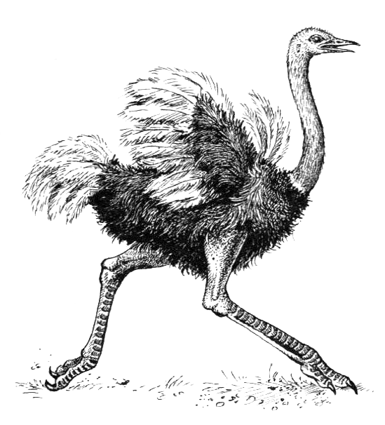 Картинки страуса нарисованные