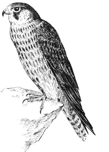 обычно кобчик птица рисунок отношением гигантской породы