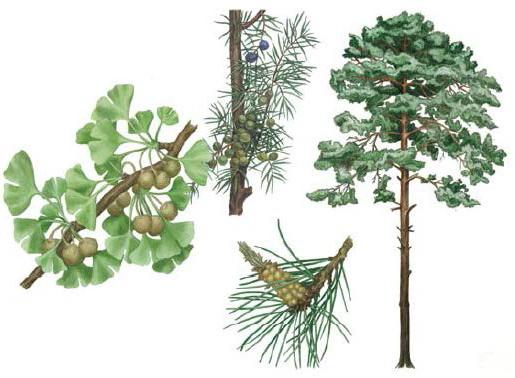 в систематике растений отсутствует отдел моховидные двудольные,цветковые,голосеменные