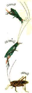 Длинноусые прямокрылые – кузнечики, сверчки, медведки