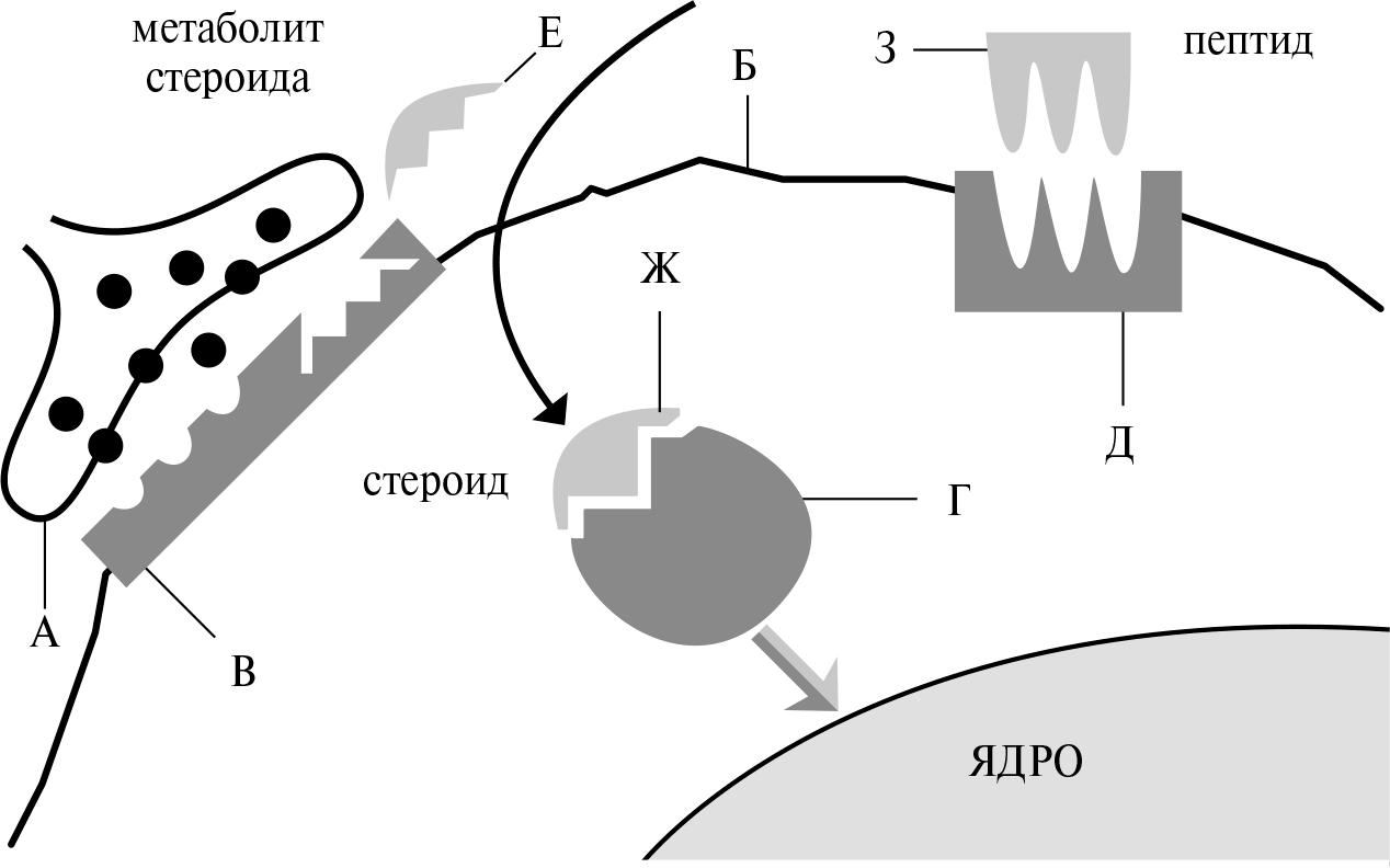 Менструальный цикл сексуальная активность
