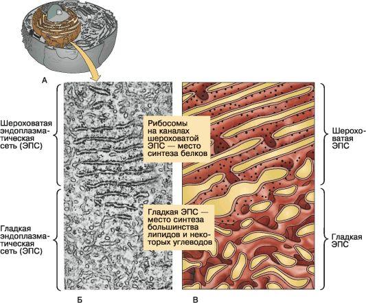 Все органоиды клетки
