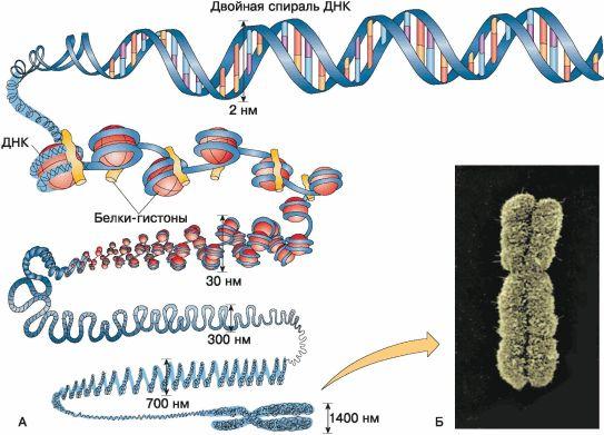 Картинки по запросу хромосома 11