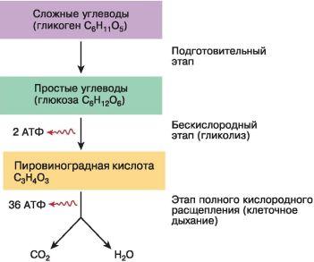 Перечислите первый этап энегретисеского обмена