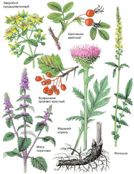 растение и дикие название фото